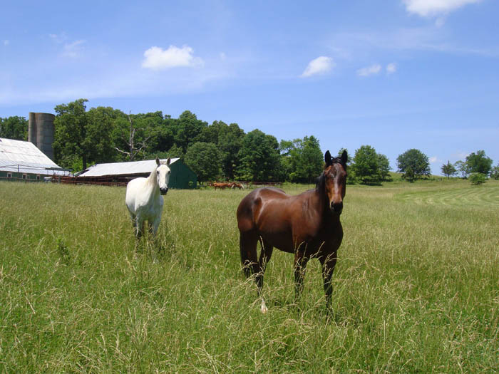 Two horses in tall grass