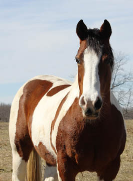 Retired horse Cassie